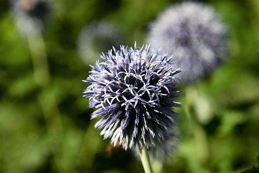 Ornamental Onion, Ball Leek, Plant, Macro, Nature