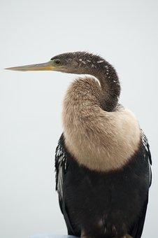 Anhinga, Bird, Wildlife, Florida, Nature, Snakebird