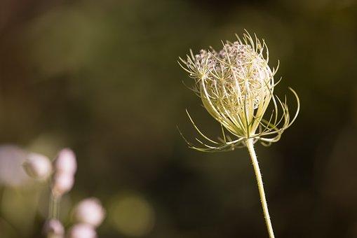 Wild Carrot, Blossom, Bloom, Plant, Wild Plant, Close