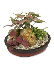 Ornamental Taro, Keladi, Ornamental, Singonium