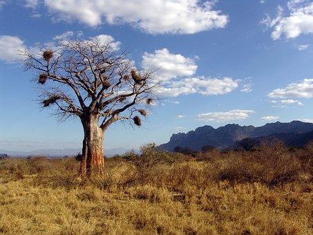 Baobab, Africa, Baobab Dino, Tree