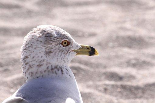 Seagull, Head, Beak, Eye, White, Grey, Sand, Beach