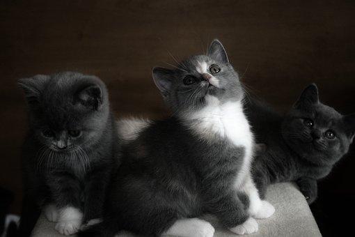Cat, Animal, Pet, Young Cat, Brit, Mieze, Kitten