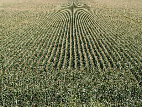 Cornfield, Cereals, Corn, Agriculture, Field, Food