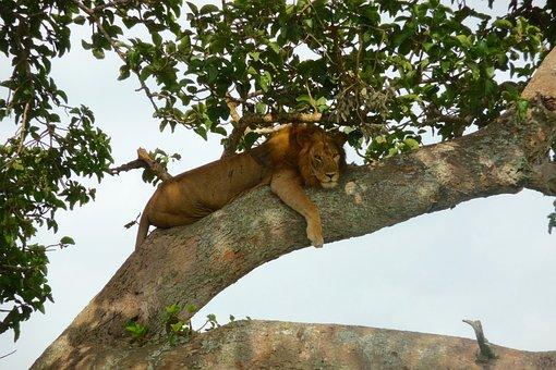 Uganda, Lion, Tree Lion, Ishasha National Park, Safari