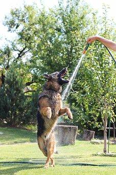 German Shepherd, Dogs, Animal, Wolfhound, Dog, Pets