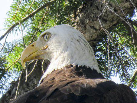 Bald Eagle, Raptor, Bird, Nature, Wildlife, Animal