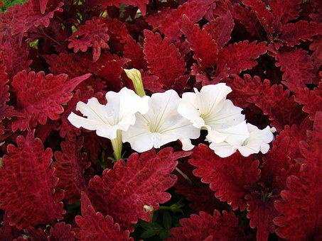 Flower, Flowers, White Flowers, Red Leaves, Foliage
