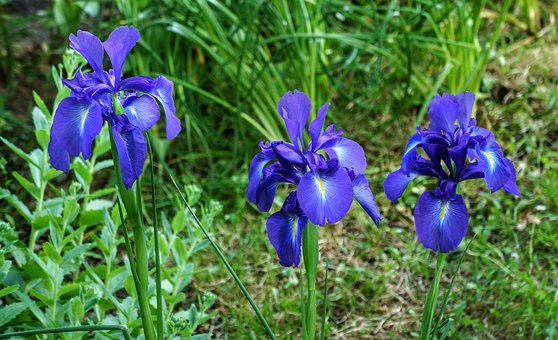 Irises, Purple, Flowers, Garden