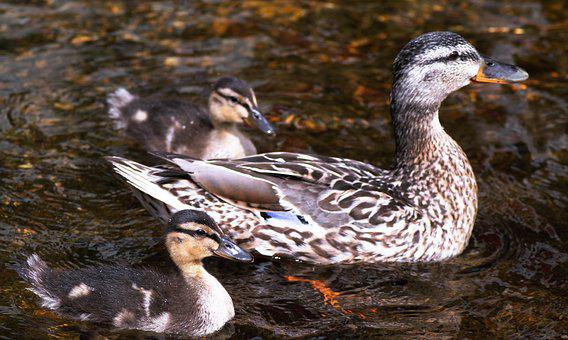 Mummy Duck, Ducklings, Water, Baby, Birds, Little, Cute