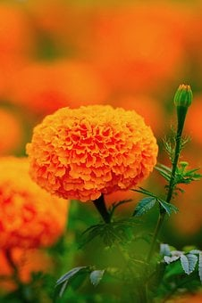 Orange Marigold, Wang Nam Kiew, Thailand