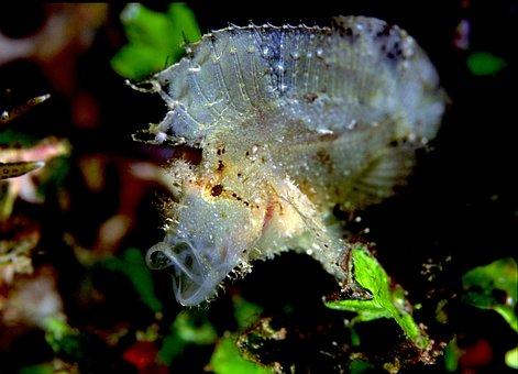 Scorpion Leaf, Similan Island, Thailand