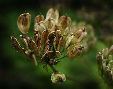 Anise, Seeds, Gap Fruits, Umbelliferae, Flowering Plant