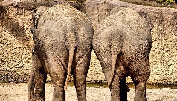 Elephant, Together, Torque, Buttocks, Valentine, Hiking
