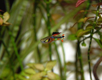 Guppy, Fish, Colorful, Water Creature, Underwater World