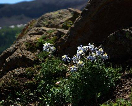 Columbine, Rock, Wildflower, Flower, Blossom, Mountain