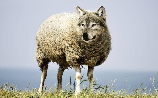 Wolf In Sheep's Clothing, Wolf, Sheep, Sheepskin, Wool