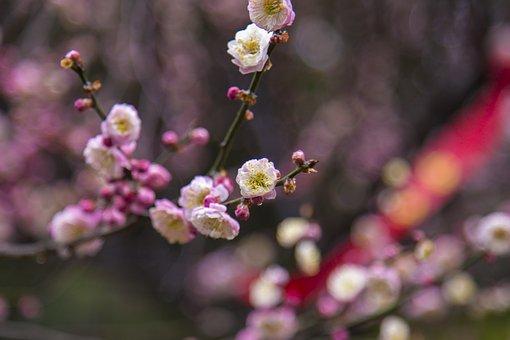 Plum Blossom, Wuxi, Plum Garden, Short-focus Close-up