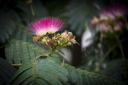 Tree, Silk Tree, Silk Acacia, Acacia, Albizia, Blossom