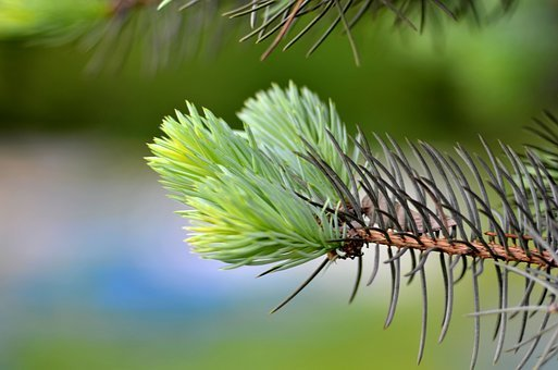 Macro, Christmas Tree, Needles, Branch, Beautiful