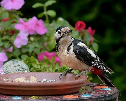 Bird, Woodpecker, Great Spotted Woodpecker