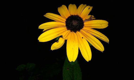 Black-eyed Susans, Flower, Rudbeckia, Brown-eyed Susan