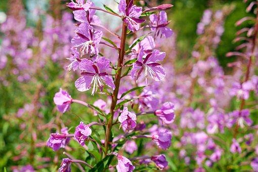 Epilobium Angustifolium, Flower, Blossom, Bloom, Pink