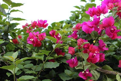 Flower, Bougainvillea, Bright