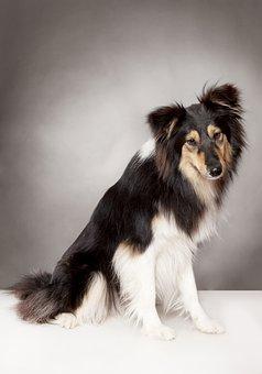 Farm Collie, Dog, Collie, British Sheepdog, Pet
