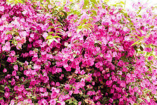 Bougainvillea, Plant, Wall, Summer, Pink, Colorful