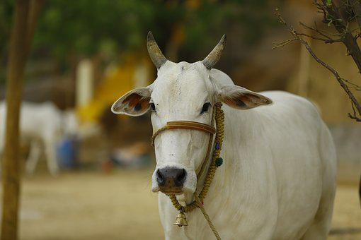 Indian Cow, Cow India, Indian, India, Cow, Asia