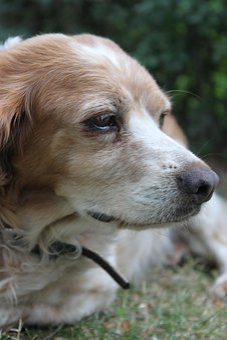 Dog Head, Breton, Pointing Dog