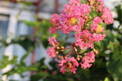 Early In The Morning, Crape Myrtle Flower, Flower