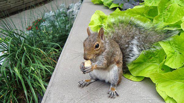 Squirrel, Eating, Peanut, Rodent