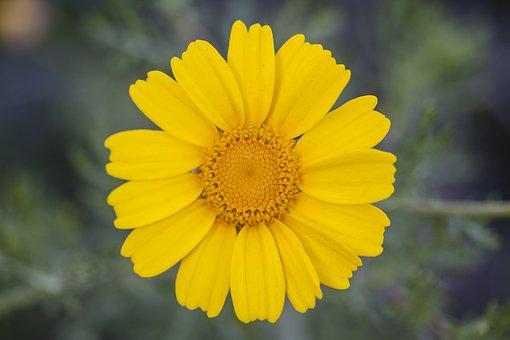 Yellow, Daisy, Flower, Plant, Nature, Flowers, Garden