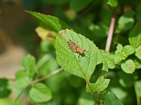 Brown Grasshopper, Chortophaga Viridifasciata, Insect