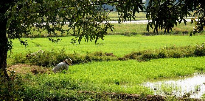 Rice, Fields, Pad, Paddy, Green, Crop, Farm, Grain