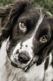 Dog, Springer, Face, Animal, Pet, Spaniel, Canine