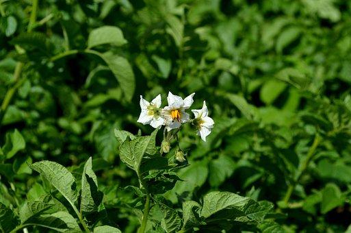 Potato Plant, Potato Blossom, Potato, Potato Field