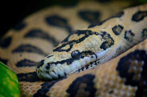 Snake, Macro, Reptile, Smooth, Brown, Herpetology