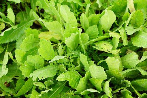 Tanacetum, Balsamita, Marie Leaf, Healthy, Tee, Garden