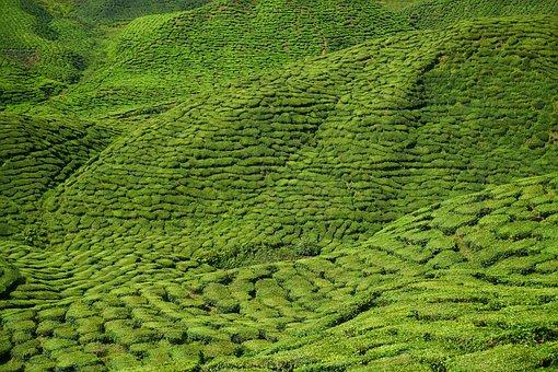 Tea, Field, Tea Garden, Taylor, Asian, Malaysia, Plant