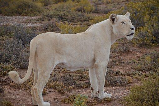 White-lion, Lion, Walking-safari, Animal, Wild, White