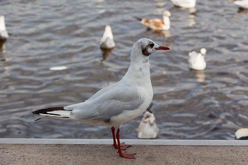 Seagull, Jungfernstieg, Birds, Water, Bird, Water Bird