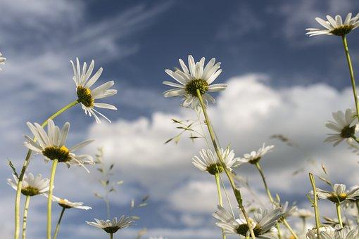 Sky, Margaretki, Flowers, Summer, Plants, White, Blue