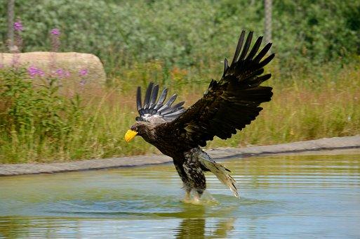 Eagle, Sea Eagle, Stellers Eagle, Bird, Wildlife, Beak