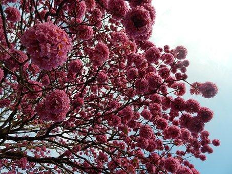 Ipê, Ipê-rosa, Ipê-purple, Winter, Nature, Flowers