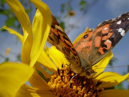 Yellow Flowers, Butterfly, Hostal, Sucking