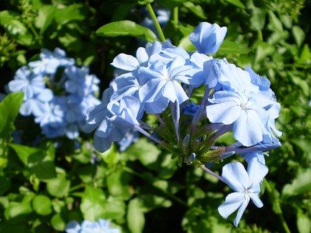 Flowers Celestial, Jasmine Sky, Jasmine, Scented