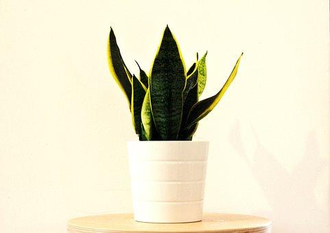 Sansevieria, Plant, Nature, Love, Deco, Home Deco